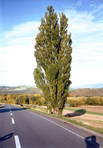 334px-Biei-tree1_2003
