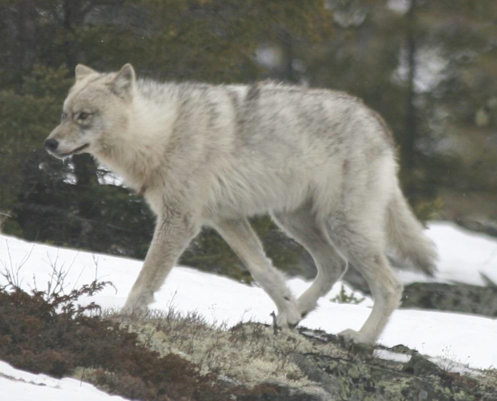 Quebec_wild_wolf