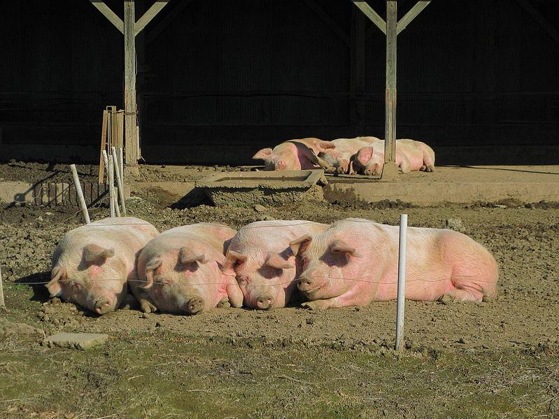 799px-saitama_domestic_pigs_in_pasture_1