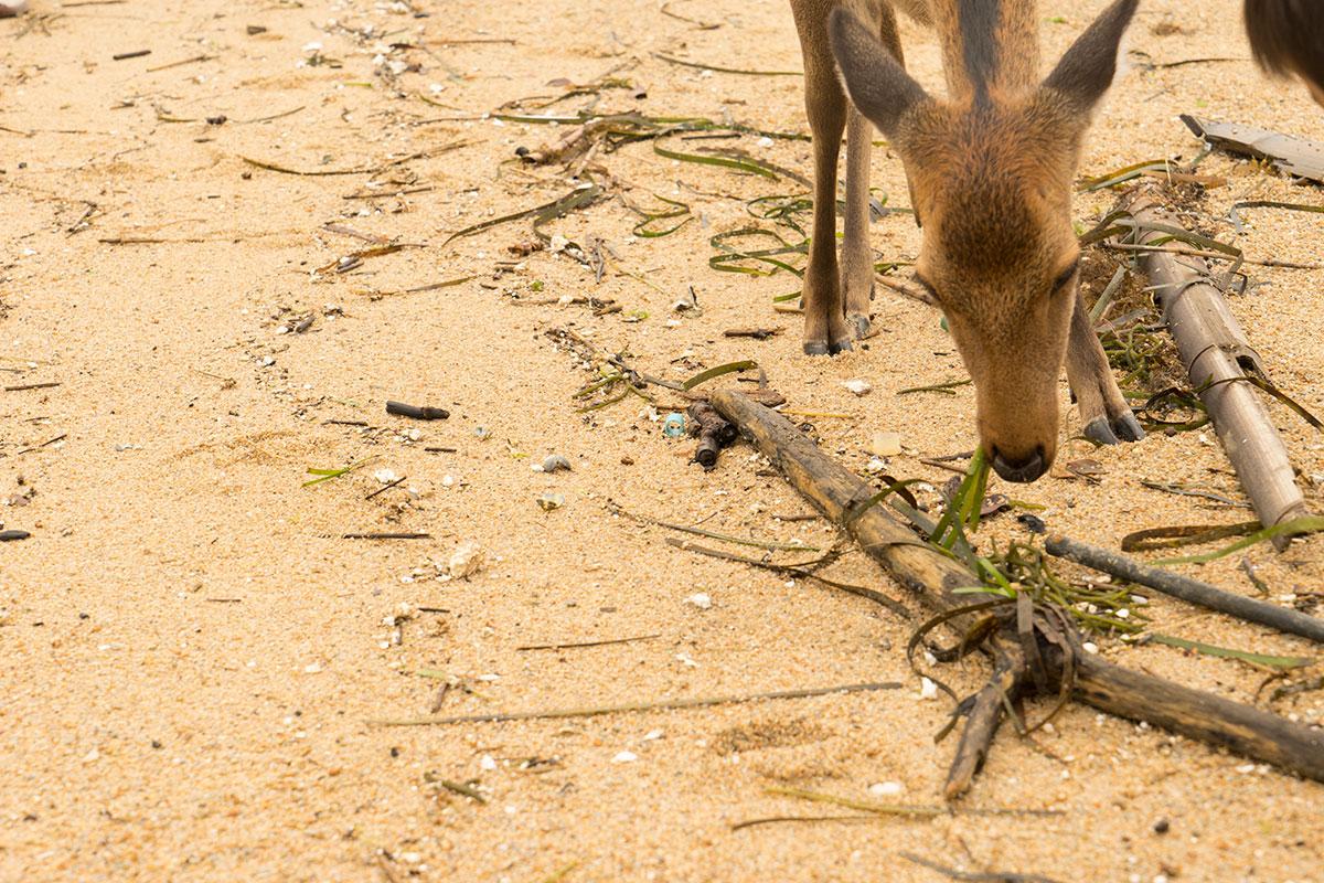 海藻を物色する鹿
