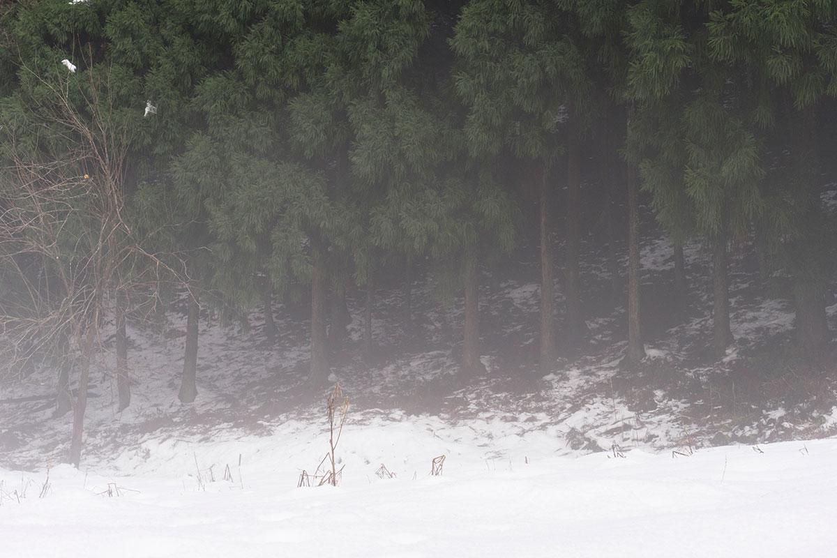 板井原集落近辺の杉林