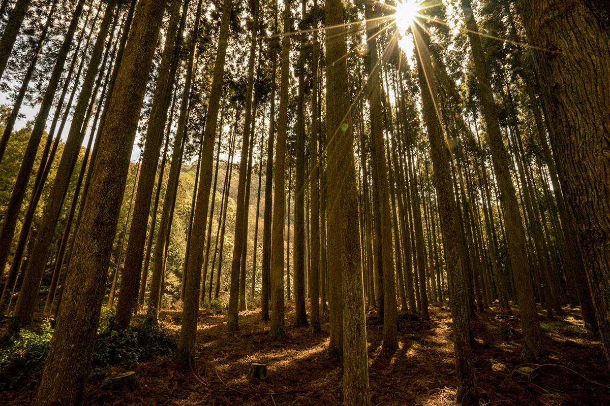 大分と福岡県界の人工林