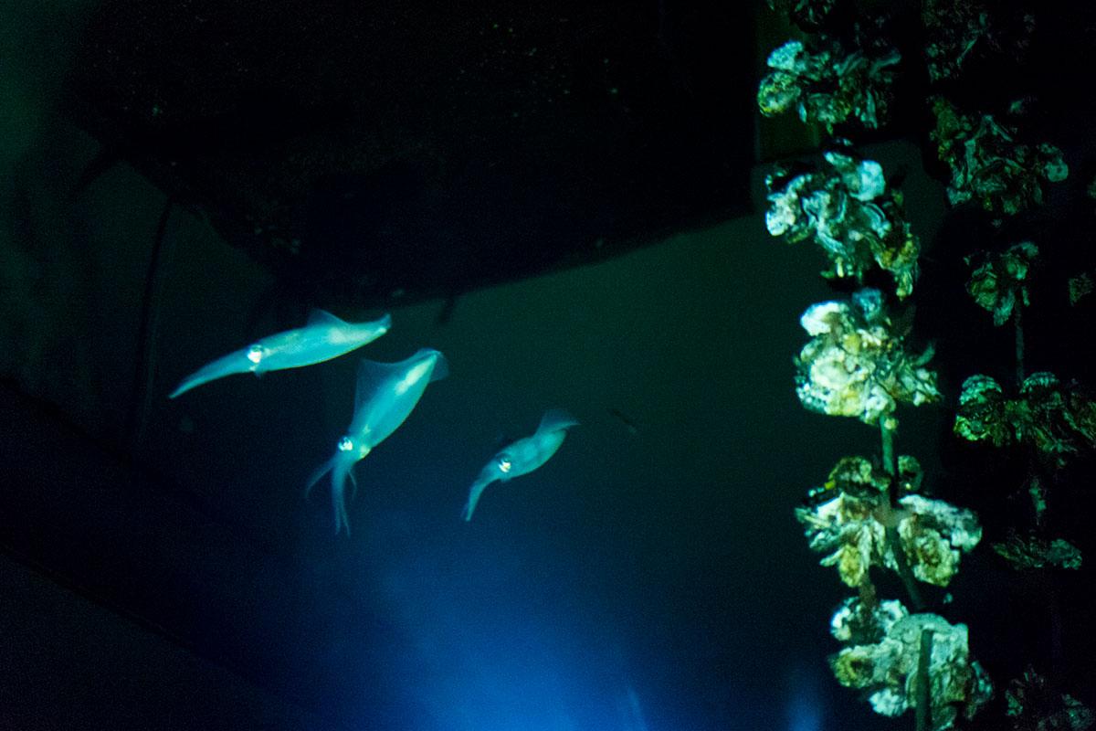 水槽内のイカ