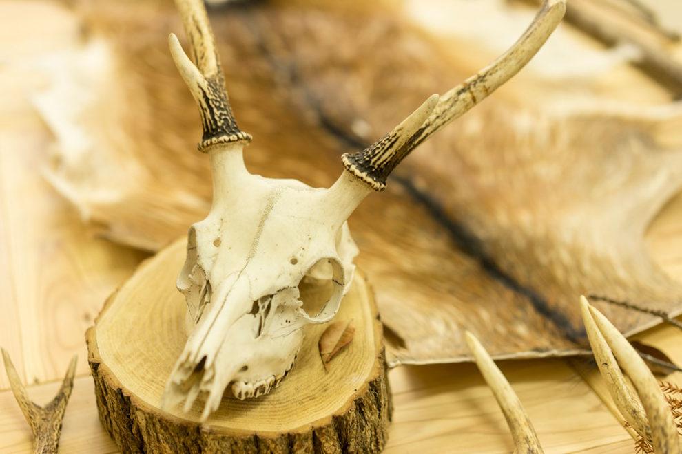 ホンシュウジカの頭部とキュウシュウジカの毛皮