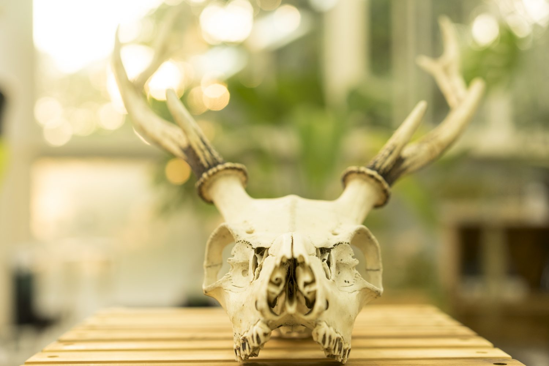 鹿の頭蓋骨