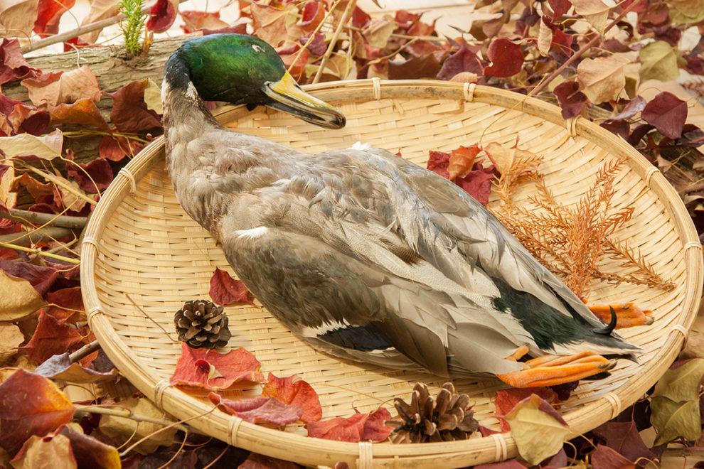 鴨は害鳥か? 諫早湾に見る野生鳥獣の実例