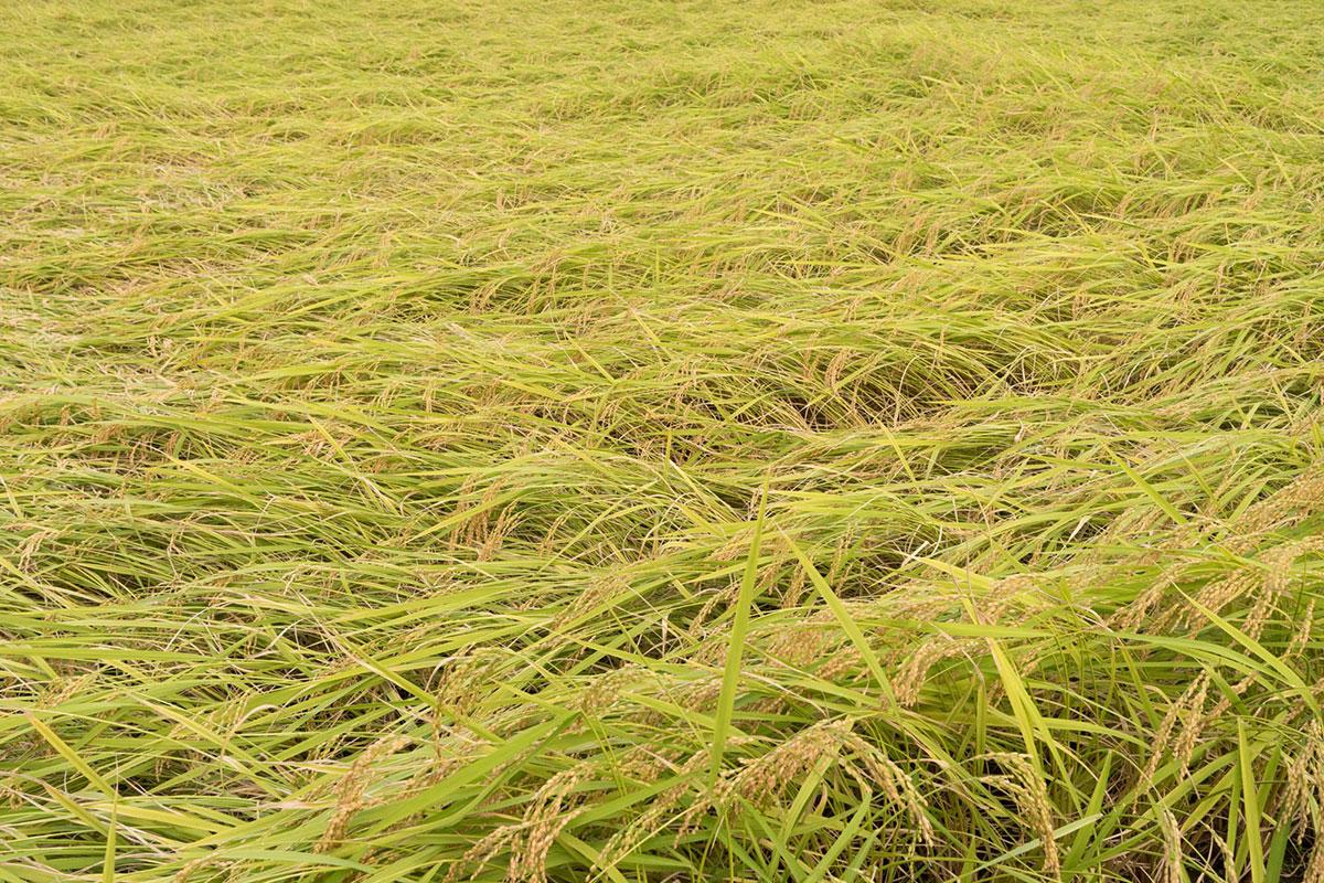 台風で倒れた稲。