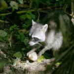 アライグマの駆除と生態系について