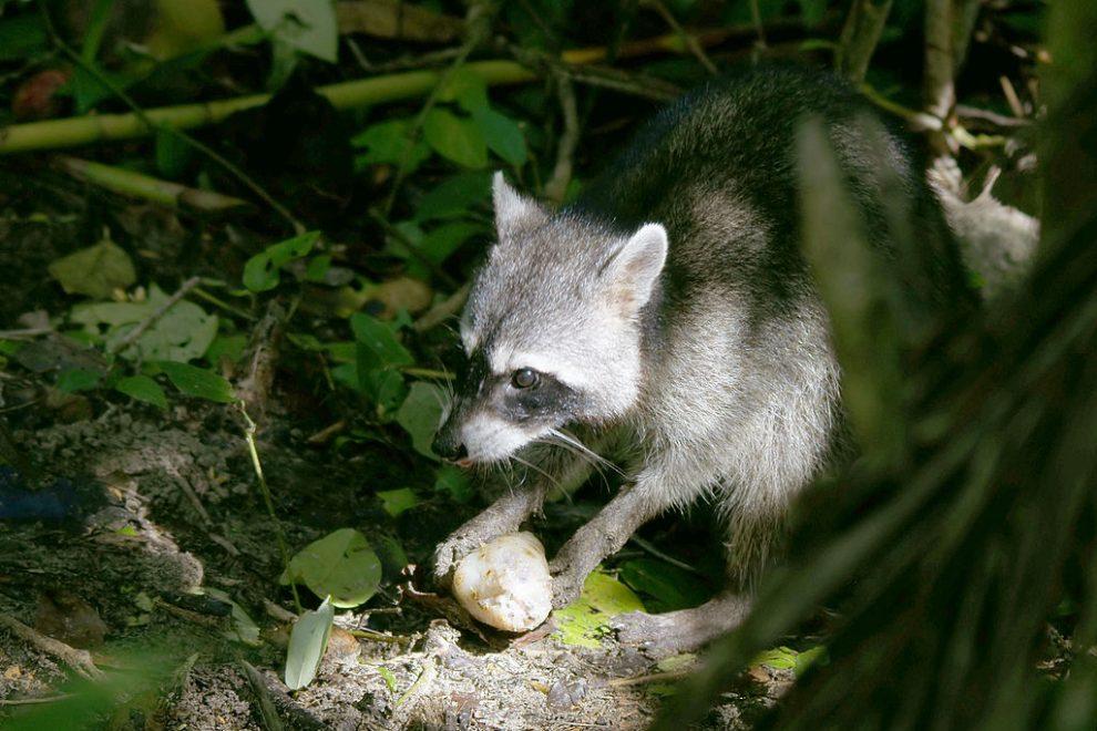 侵略的外来種 アライグマの駆除と生態系について考える