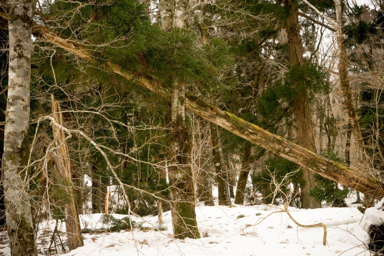 倒れた木々