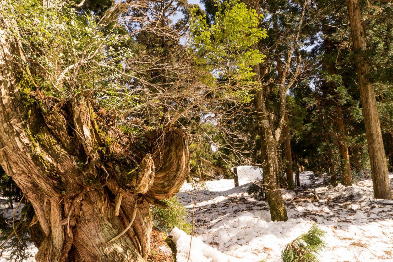 倒木からの芽吹き
