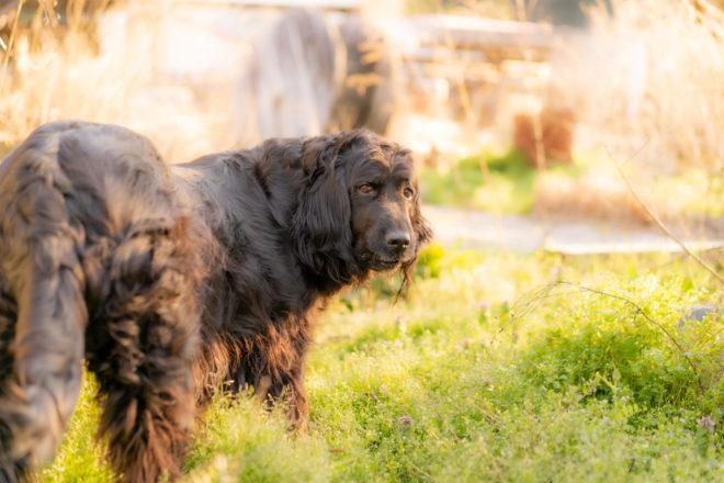 大型犬 ニューファンドランド