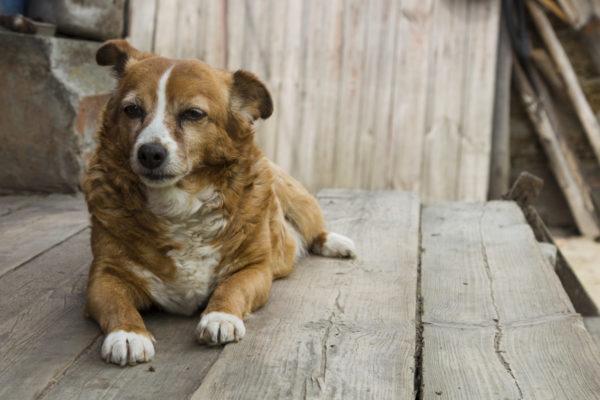 老犬,犬の素材