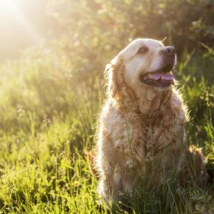 ゴールデンレトリーバーの老犬