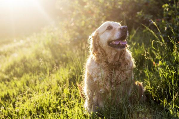 ゴールデンレトリーバーの老犬,犬の素材