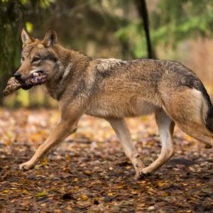 野生のオオカミ(狼)