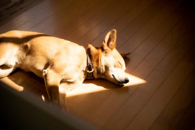 ひだまりで眠る琉球犬MIX 小次郎さん