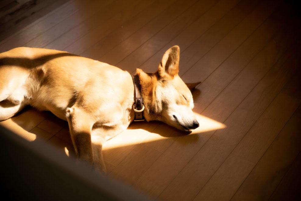 ひだまりで眠る琉球犬 小次郎さん
