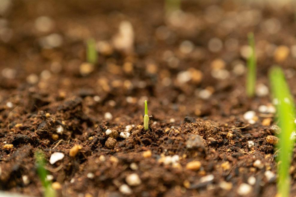 とうもろこし の芽