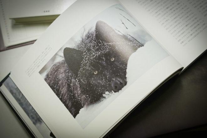 黒色のハイイロオオカミ