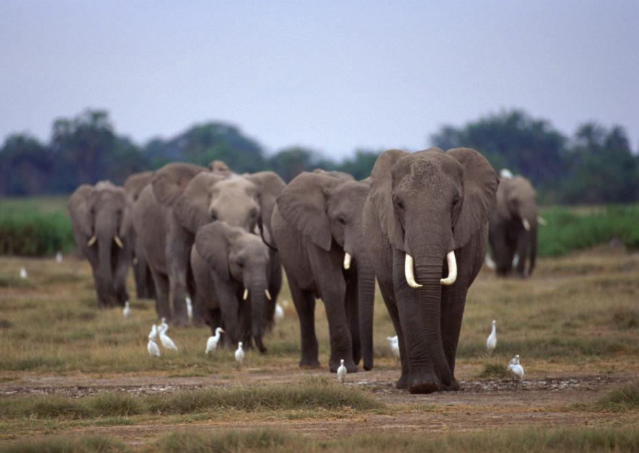 象牙とアフリカゾウ
