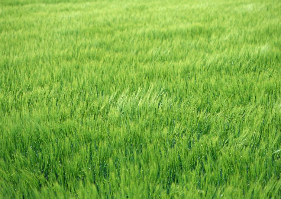 風にそよぐ小麦畑