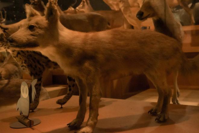 ニホンオオカミ の剥製