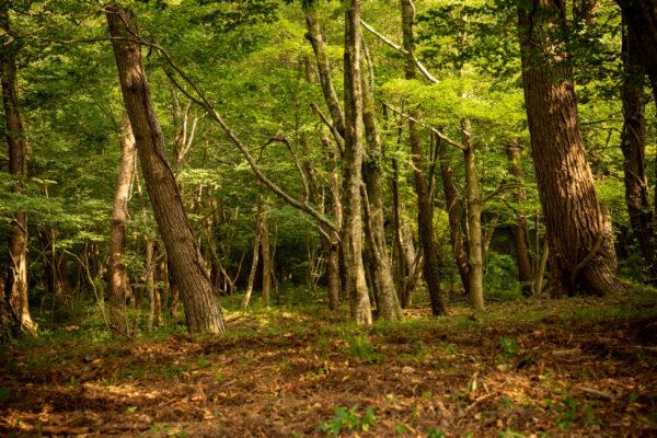 広葉樹林の森 三瓶山麓にて