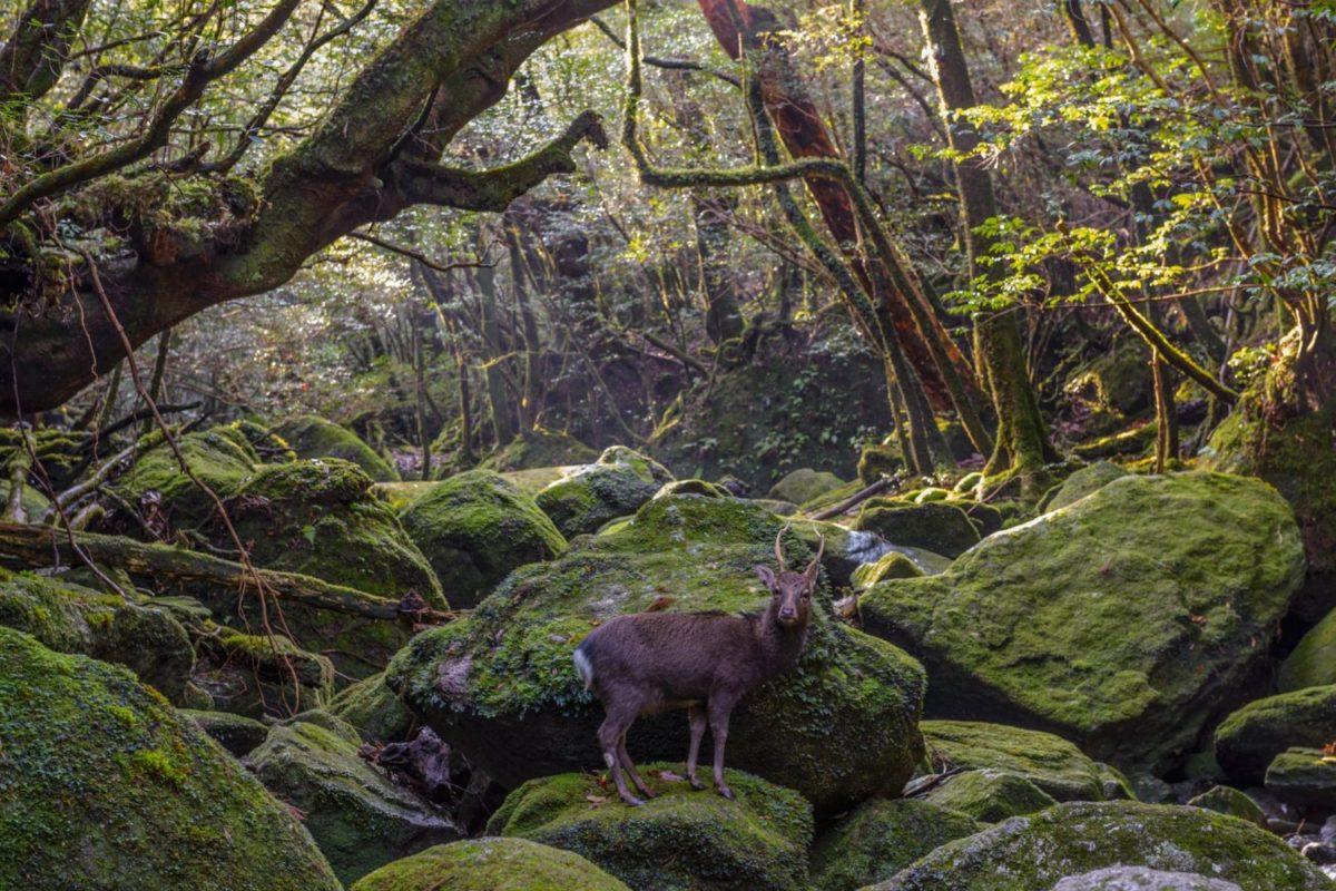 人間は鹿の増加を抑制できるか? 屋久島の事例を考える