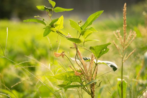 とうもろこし に絡み続ける枝豆