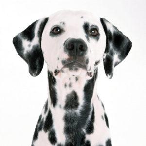 ダルメシアン,犬の素材