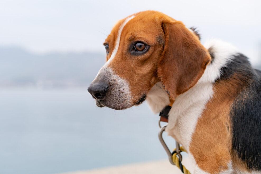 ビーグル犬のクララ