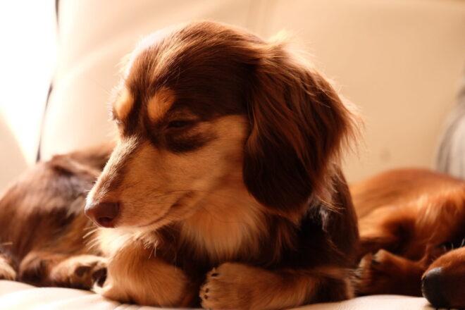 犬の素材,ミニチュアダックス
