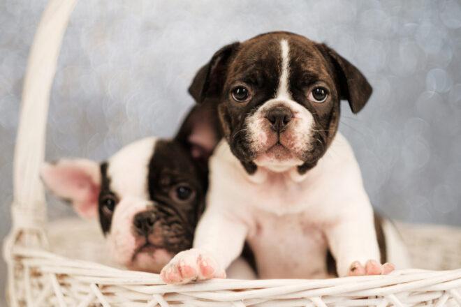 フレンチブルドッグ,犬の素材